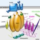 complexe-microtubules-fourest-2012